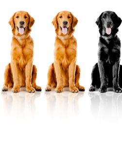 Beautiful dogs sitting down in a row - isolated over a white backgroun